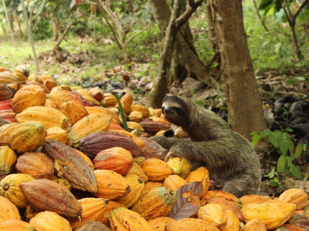 faultier-kakaoernte_35131510145_o